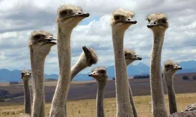 Here is the Ostrich